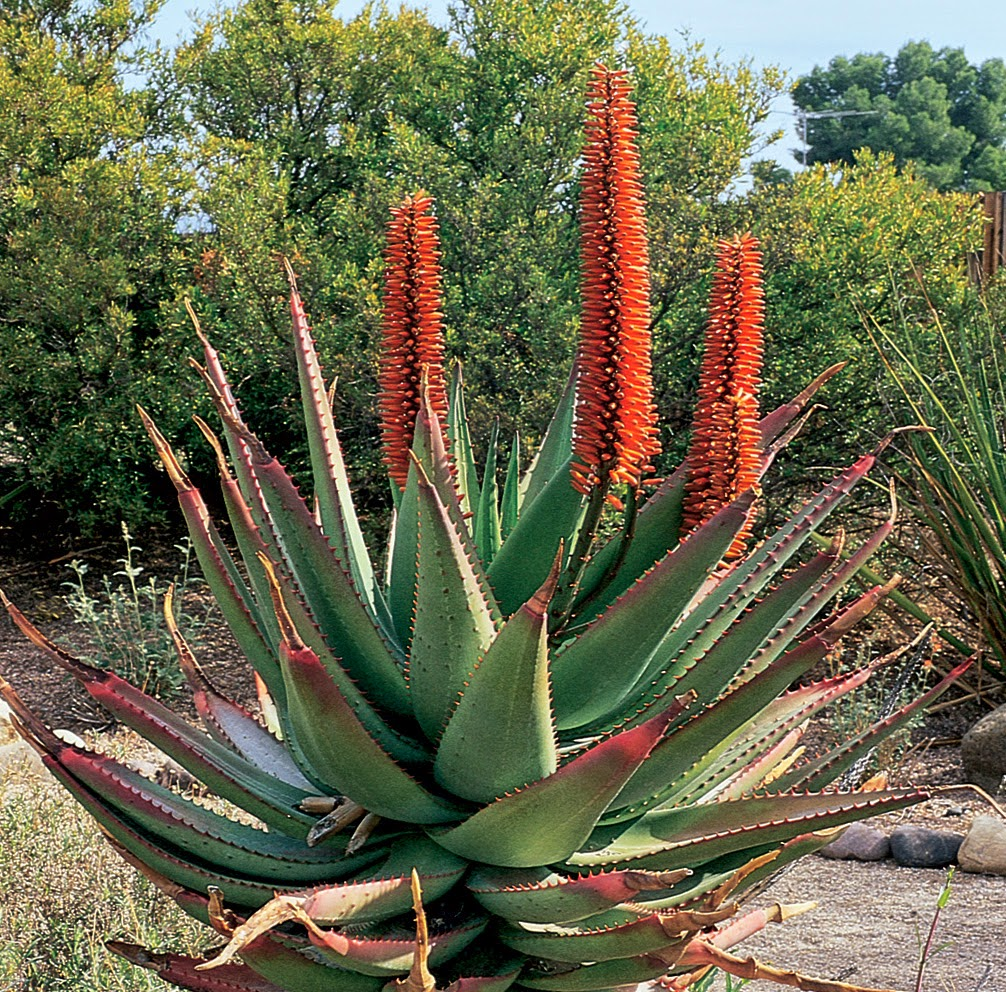 Benefits of cape aloe aloe ferox for health tips for Low maintenance desert plants
