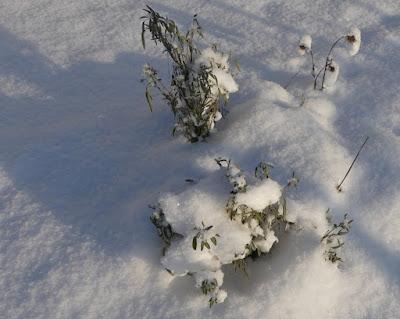 Gartenrundgang Januar - Salbei