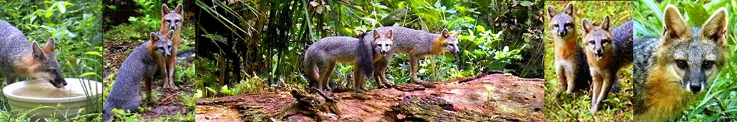 THE FRIENDLY GRAY FOXES photographs,text and videos by Sandra L Russell