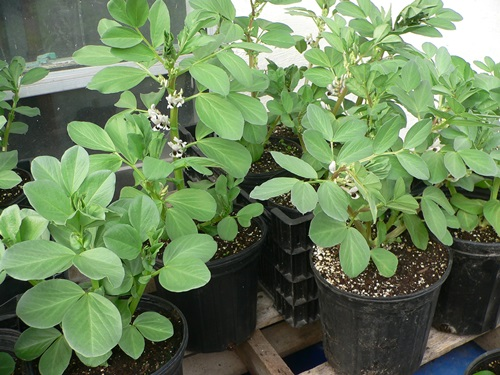 Master gardeners of tompkins county ny growing fava for Indoor gardening green beans