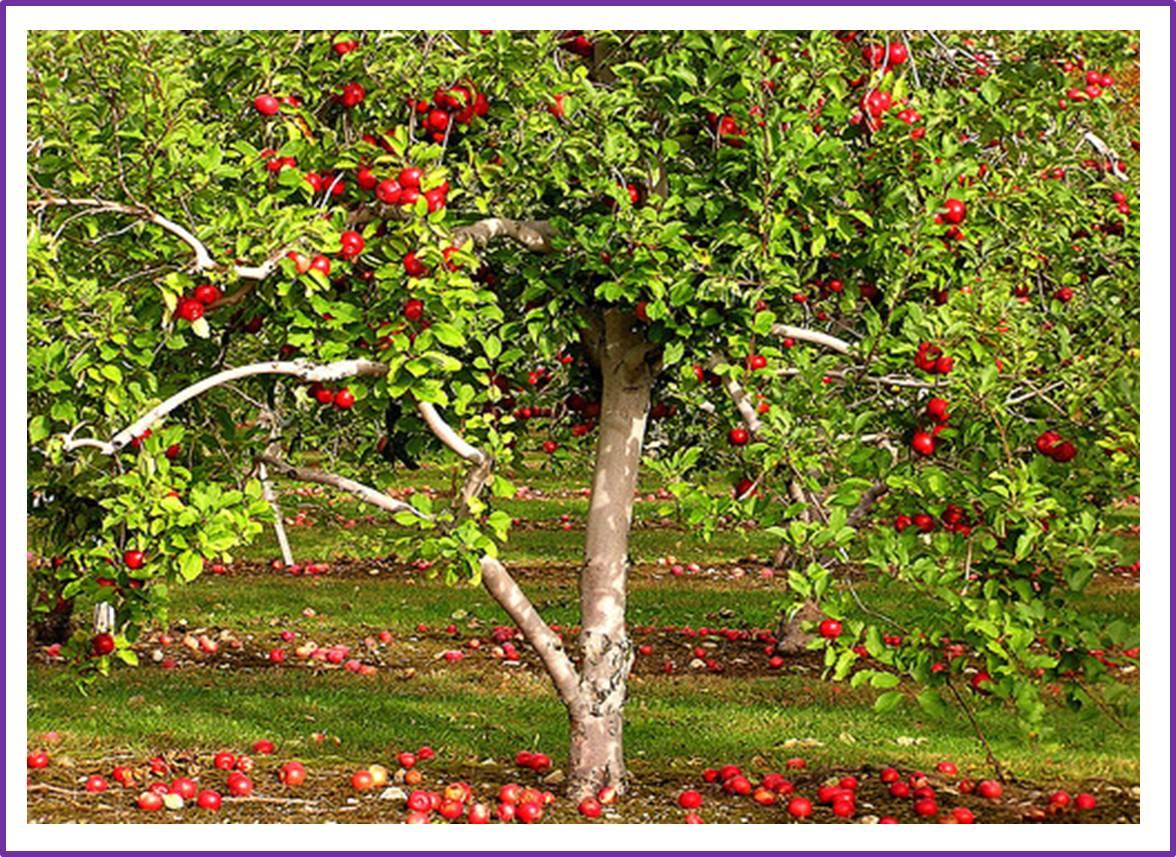 Что посадить рядом с вишней: оптимальное соседство 56