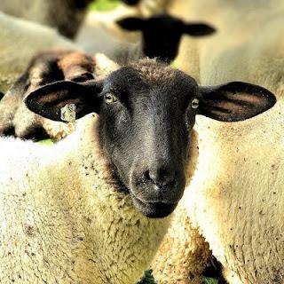 susu domba thailand