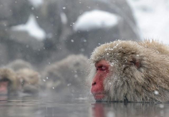 Baños Termales Japoneses:Los macacos japoneses acurrucan en grupo para protegerse contra el