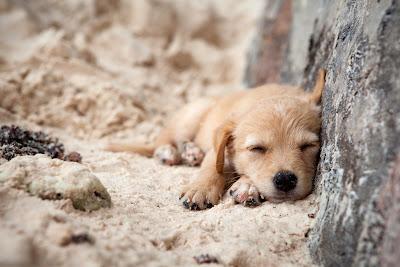 Hundewelpe an der Anse Severe auf La Digue, Seychellen