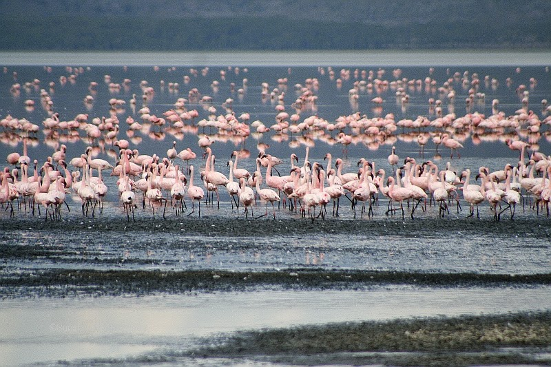 flamingos on the shoreline of the lake naukuru