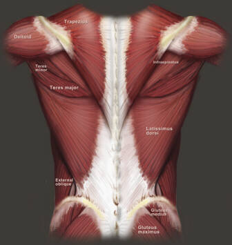 Human Lower Back Muscles