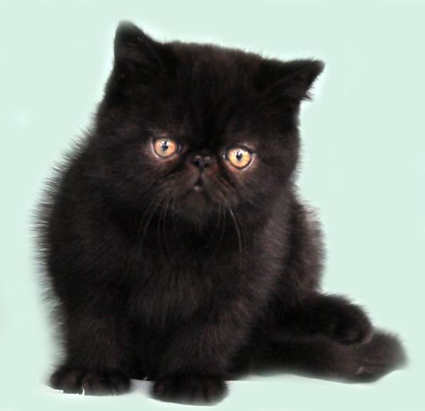 Aneka Pola Warna Kucing Ras Persia Dan Lainya Info