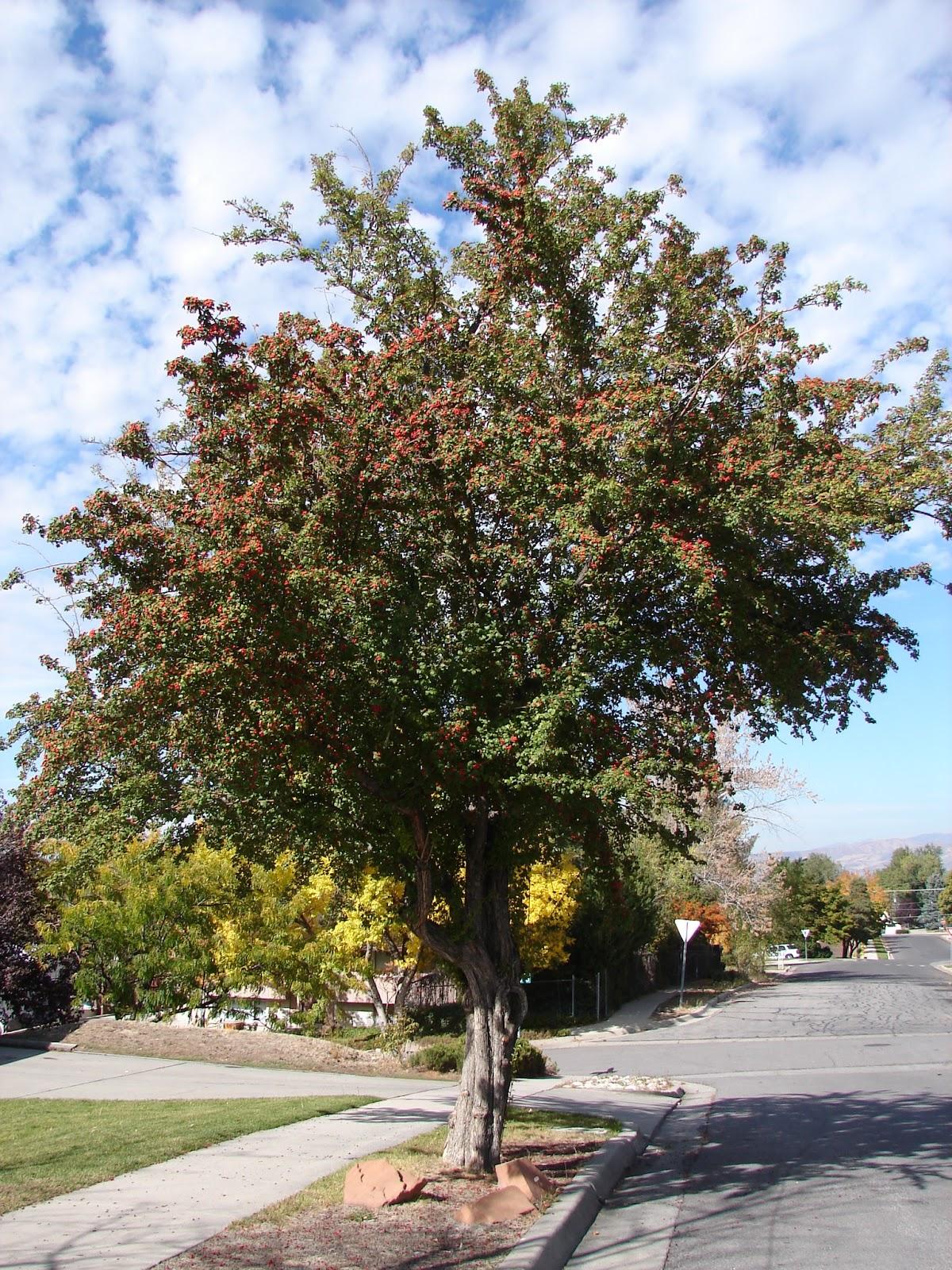 New Utah Gardener Hawthorn Small Waterwise Tree For