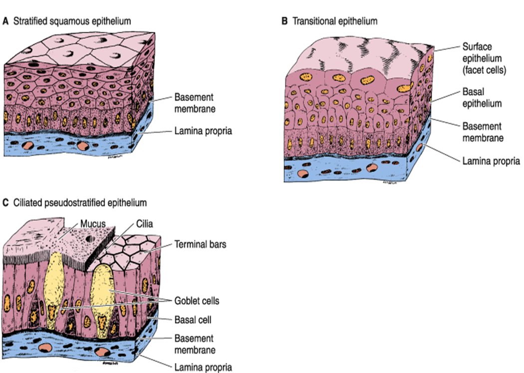what is squamous epithelial tissue Simple squamous epithelia are tissues formed from one layer of squamous cells that line surfaces squamous cells are large, thin, and flat and contain a rounded nucleus like other epithelial cells, they have polarity and contain a distinct apical surface with specialized membrane proteins.