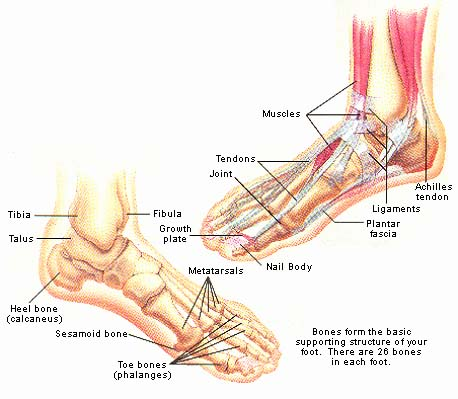 Anatomy of the foot and ankle bones
