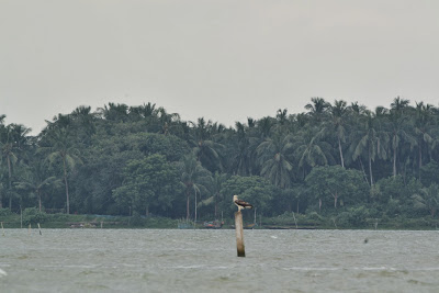 Raptor at chilika lake at stapada
