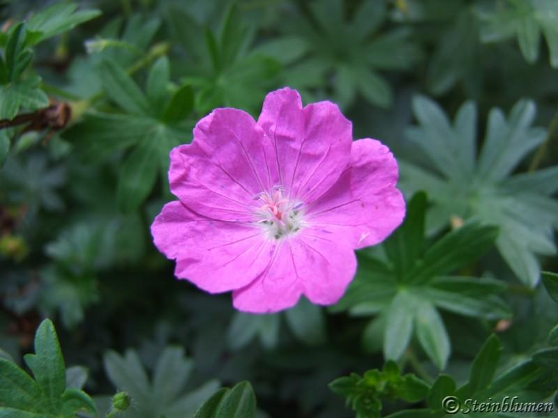 Storchschnabel Blüte