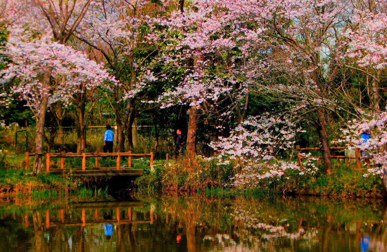 sakura cherry blossom garden lake bridge hanami japan