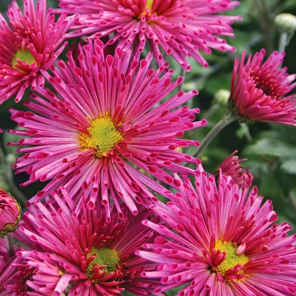 Arte y jardiner a plantas perennes con flores para maceteros for Plantas perennes exterior