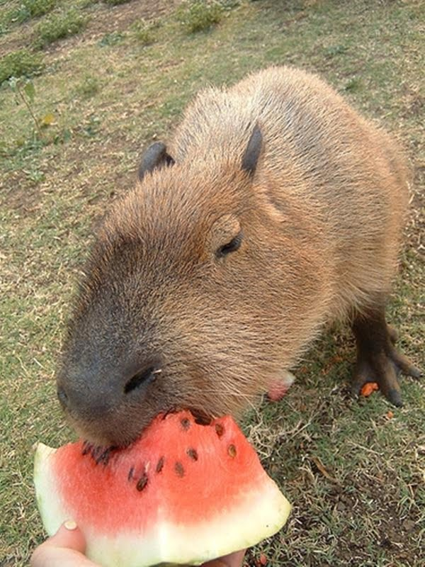 funny animal pictures, funny animal eating, animals eating watermelon, cat eating watermelon, hippo eating watermelon, polar bear eating watermelon