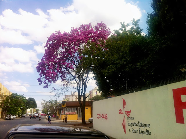 Numa rua do Jardim América em Goiânia a surpresa do Ipê-bola-rosa no quarteirão da Igreja de Santo Expedito