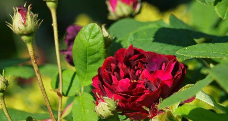 Tuscany Superb er en mørk og meget smuk rose