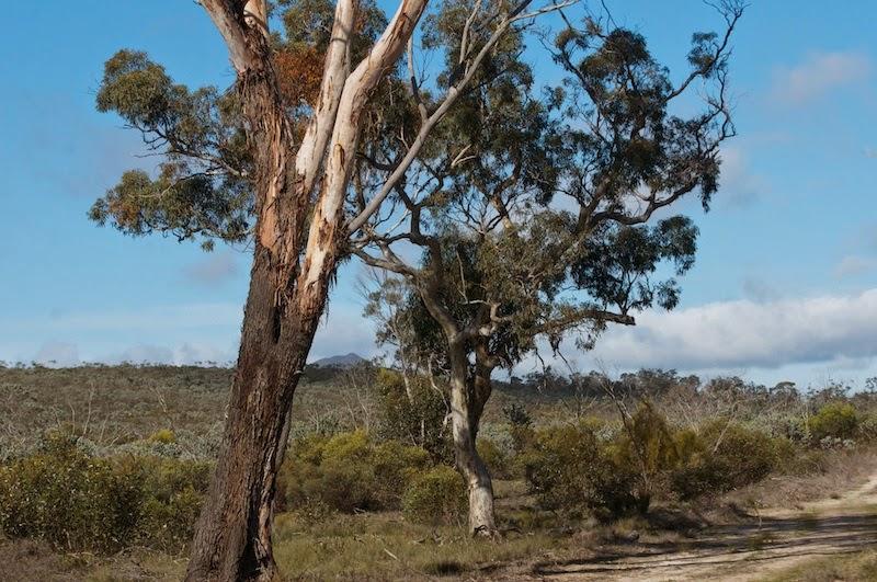 Wandoo (Eucalyptus wandoo)