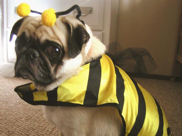 Pug O Ween
