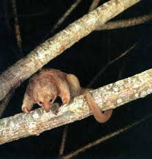 Silky Anteater image