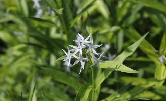 Bluestar Flowers