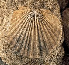 Fósil de una concha