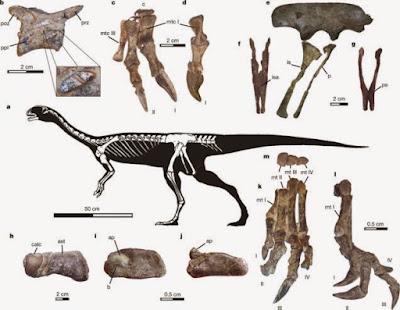 Chilesaurus skull