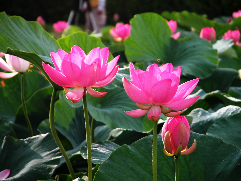 Flowers lover blog lotus flowers legends sesen a lotus flower this is a symbol of the sun of creation and rebirth because at night the flower closes and sinks underwater mightylinksfo