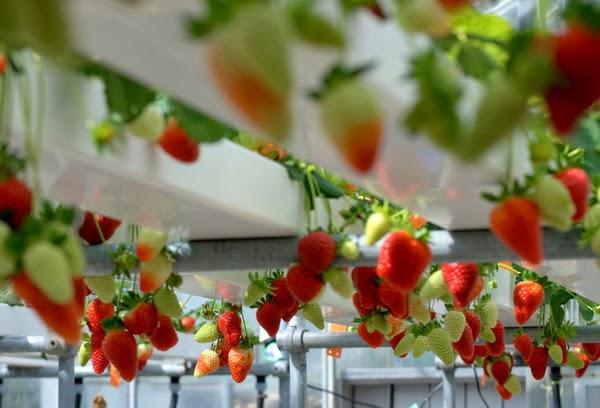 Hydroponic Strawberry System