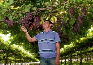 Maciano Bezerra desenvolveu tencologias para a produção de uva em Russas, CE