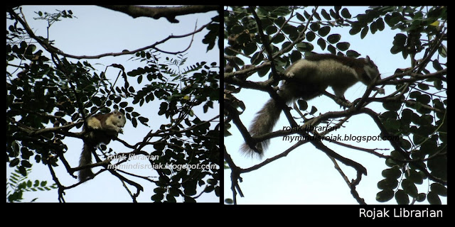 Variable or Finlay'son Squirrel in Bidadari