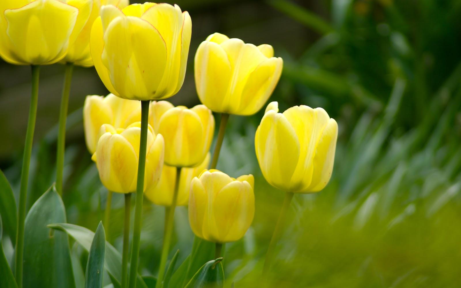 Beautiful Tulips Beautiful Wallpapers