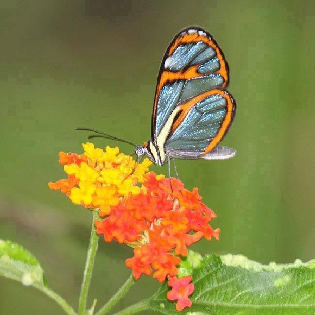 Menakjubkan Kupu-kupu Transparan