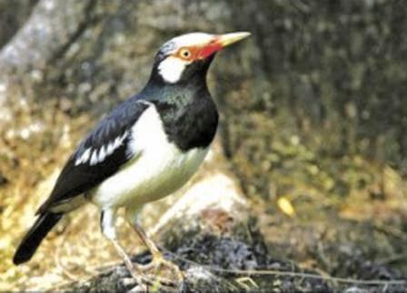 Foto Burung Jalak Malaysia Jantan