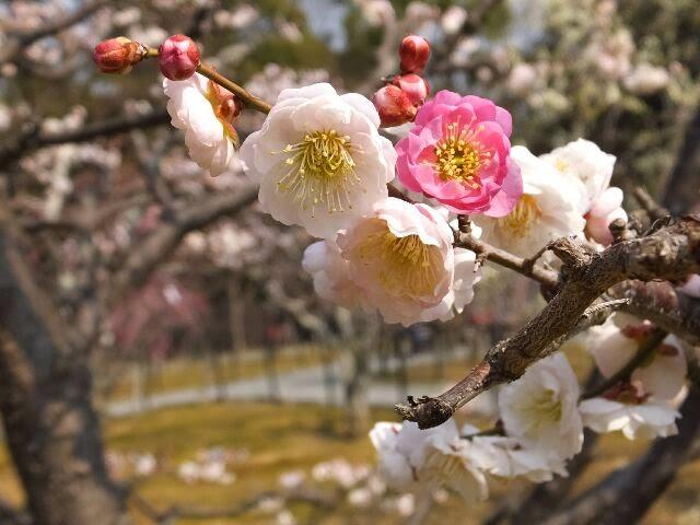 ユウコウ梅は、咲き分けする!