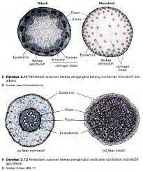 Gambar Perbedaan batang dikotil dan monokotil