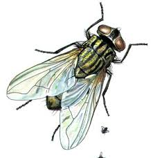 sayap lalat dan bahayanya