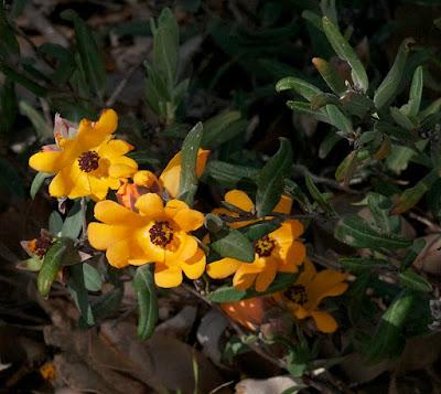 Orange Hibbertia (Hibbertia miniata)