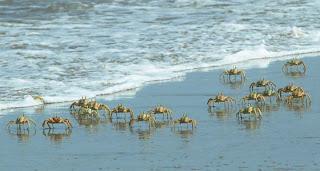 Os caranguejos na nossa praia