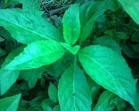 khasiat daun Ngokilo
