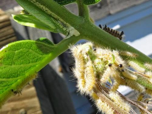 milkweed tussock moth caterpillars