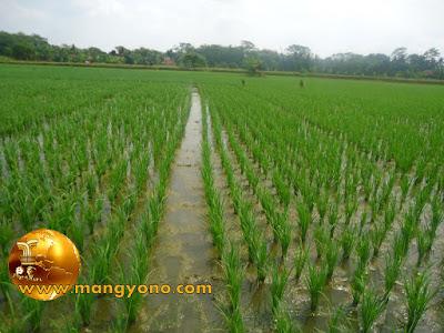 FOTO : Tanaman padi saya di blok bakan Bandung