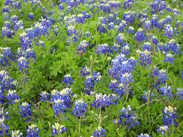 Bluebonnets in full bloom at White Rock Lake, Dallas, Texas