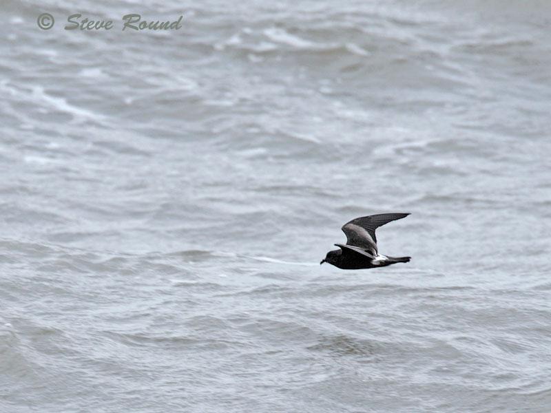 Leach's Storm Petrel, bird
