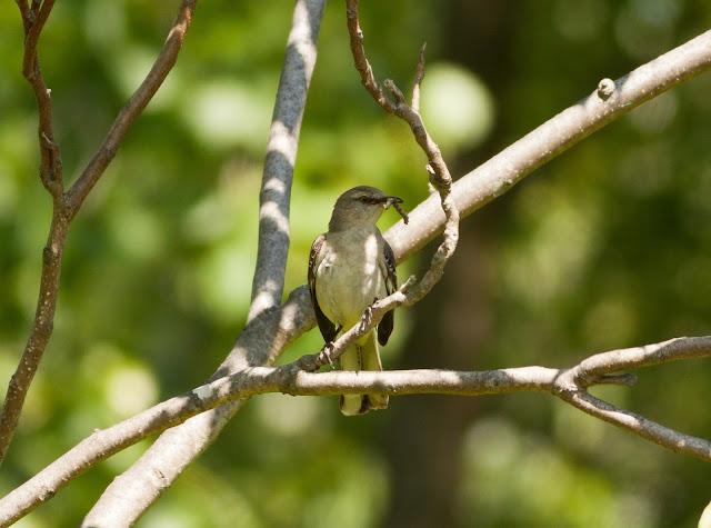 Northern Mockingbird - New York