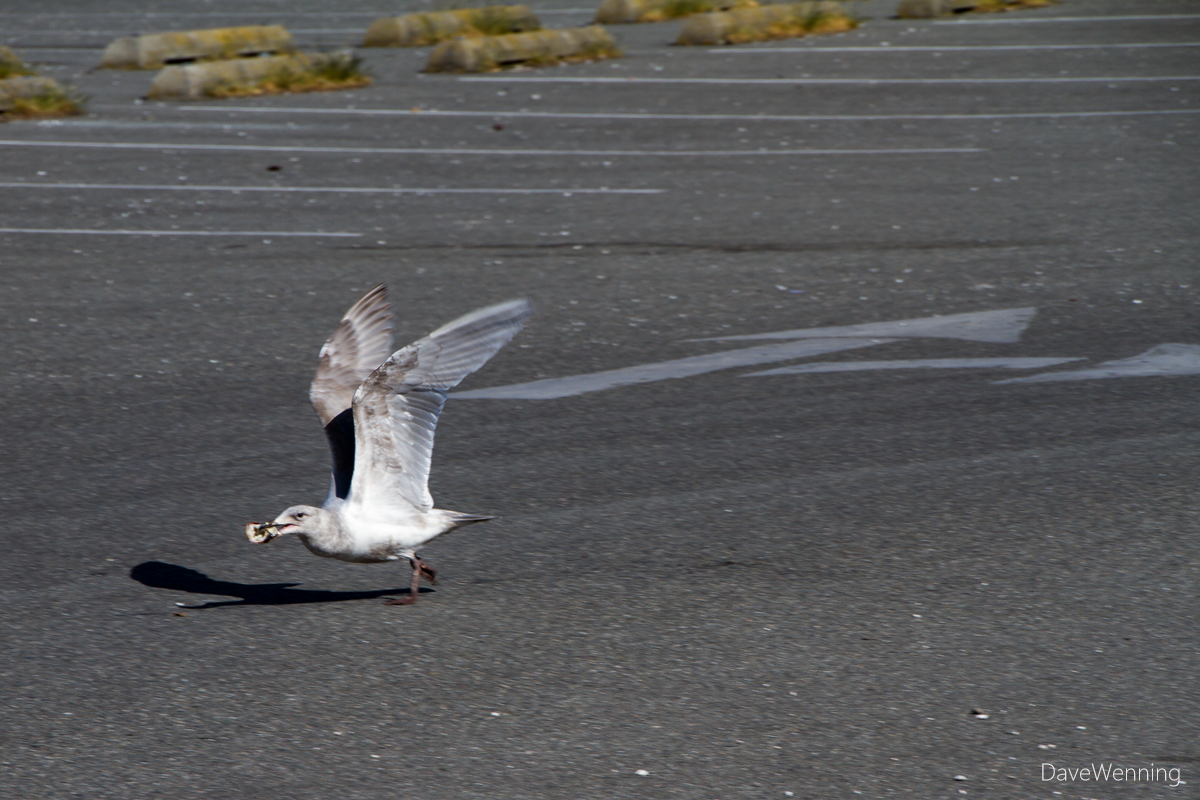 Juvenile Gull Cracking Shellfish, Deception Pass State Park