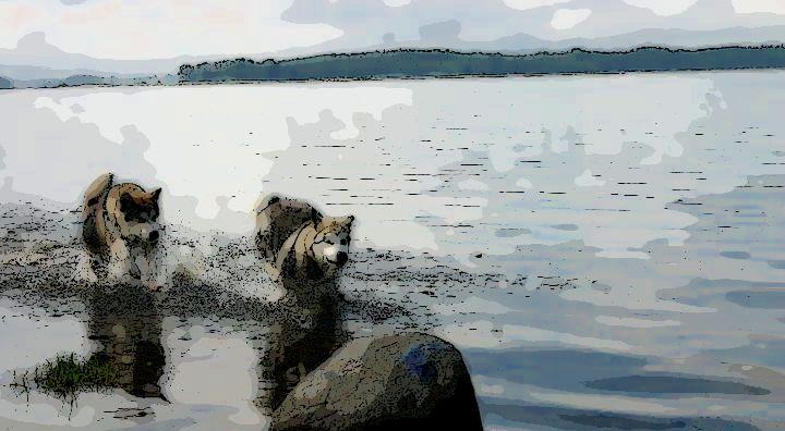 Kennel My Alaskan - Alaskan Malamute