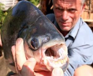 Alamak Ikan ini mempunyai tabiat suka menggigit buah zakar