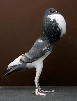 THE PYGMY POUTER PIGEON