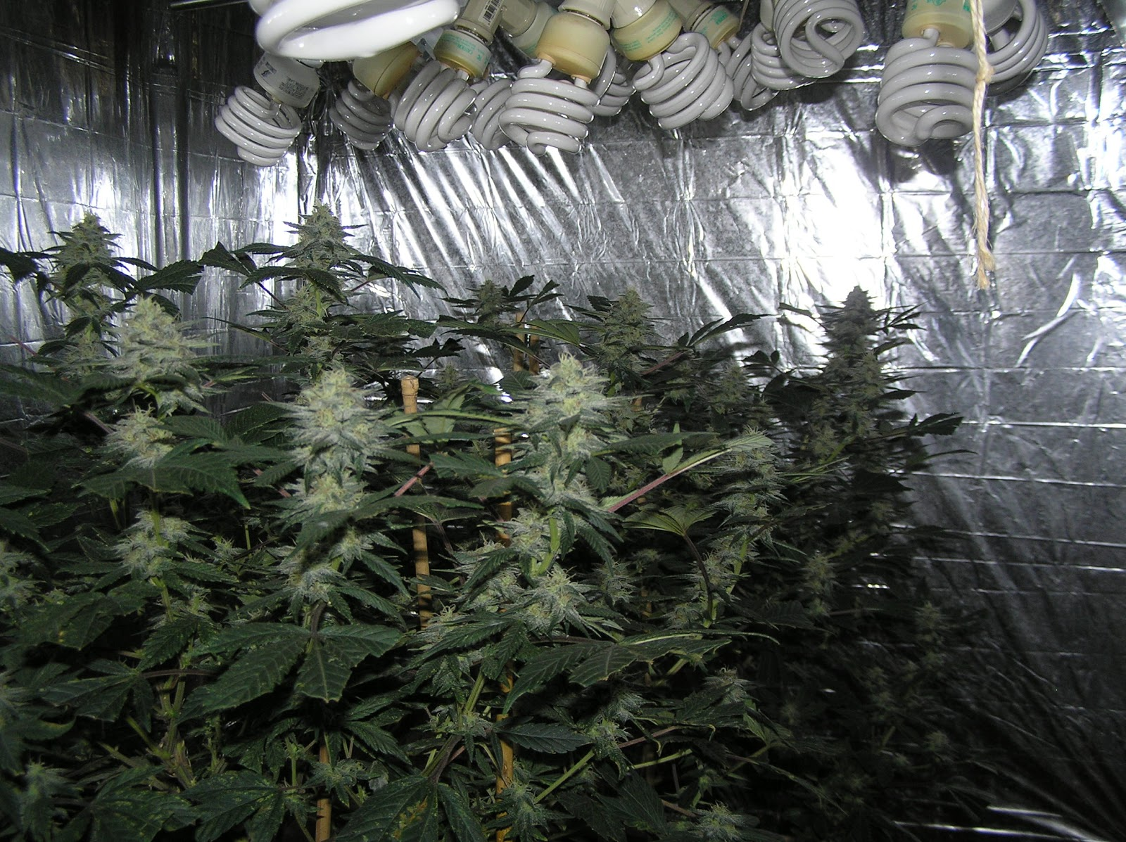 The best way to grow pot with CFL grow lights